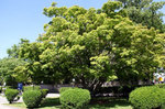 Acer palatum (Japanese Maple) ID#52 by Bryan C. Sheppard Jr