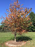 Cercidiphyllum japonicum (Katsura Tree) ID# Unknown by Kunsang C. Lama