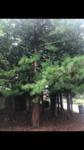 Sciadopitys verticillata (Japanese Umbrella Pine) ID #318 by Julian E. John