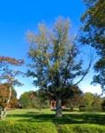 Quercus robur (English Oak)