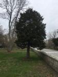 Chamaecyparis obtusa (False Cypress-Hinoki) ID #982