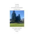 Sciadopitys verticillata (Japanese Umbrella Pine), #1065-1067