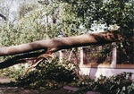 Fallen tree on top of Ochre Court fence