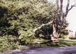 Fallen tree in front of McAuley Hall
